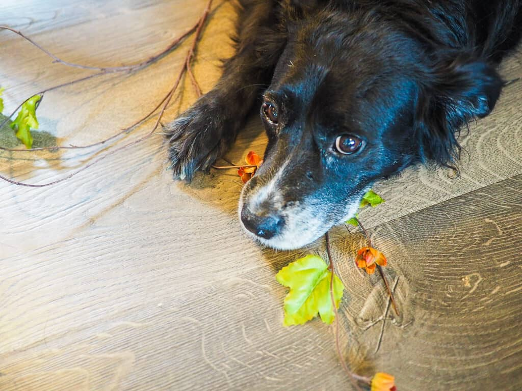 A border collie and flowers on a wood floor.