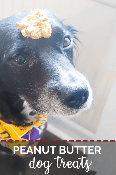 A pin image of a border collie with a cookie on her head.