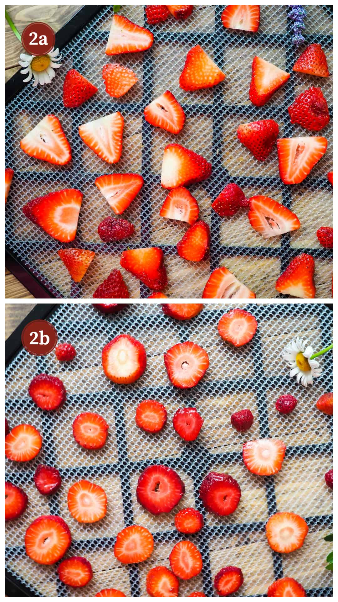 A process collage of images for making dehydrated strawberries, step 2 - sliced strawberries on the tray of a dehydrator.