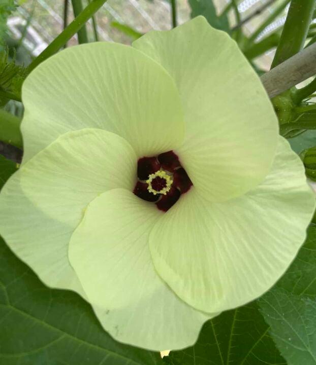 an okra flower